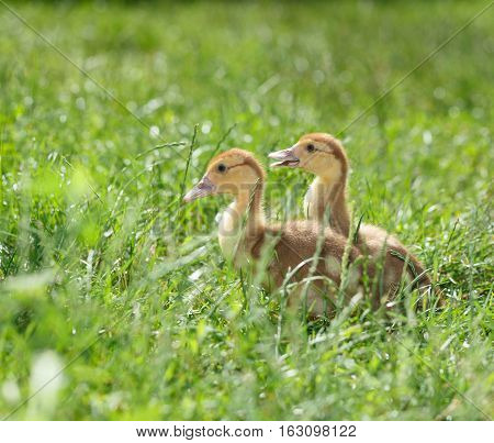 Two Duckling In Grass