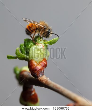 First Bee On Full Cherry Bud