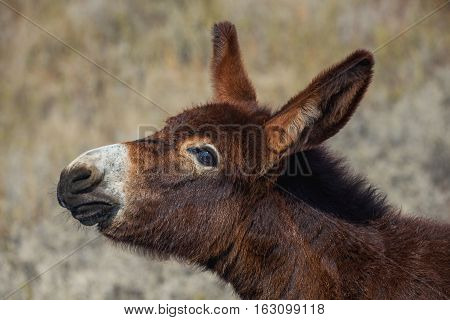 Young beautiful brown color donkey walking in a pasture near agricultural farms.