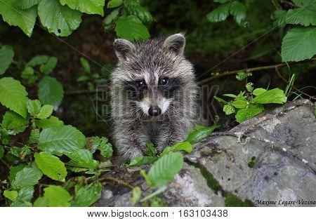 A wildlife capture of a raccoon peeking through the shrubs. Dec 2016