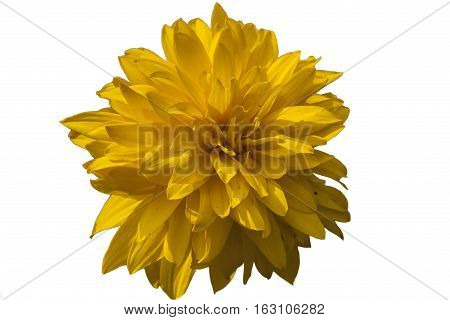 Yellow flower isolated on white background. Clipping path
