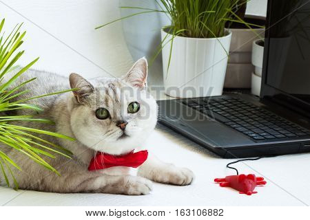 Big cute intelligent cat sitting next with computer screen and a mouse for the laptop. Concept of office