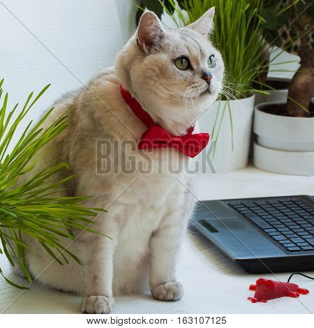 Intelligent respectable cat in the red bow tie distracted from the computer and very attentively looking at us. Success and business concept