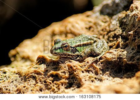 Frog on a stone. Green frog in the pond