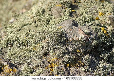 Moss and lichen on a stone. Mosses and lichens close-up. Moss on the rock