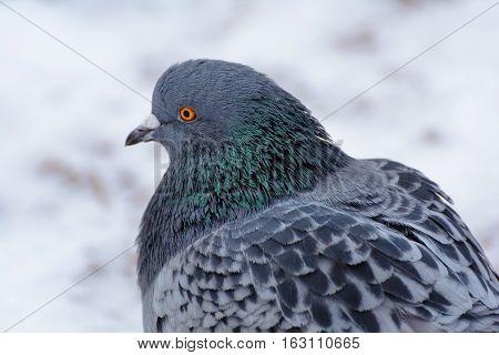 Dark dove. Dove colored on the snow.