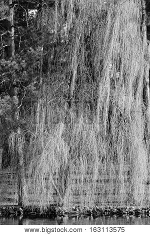 Black and white photo of a Weeping Willow tree next to lake in the springtime.