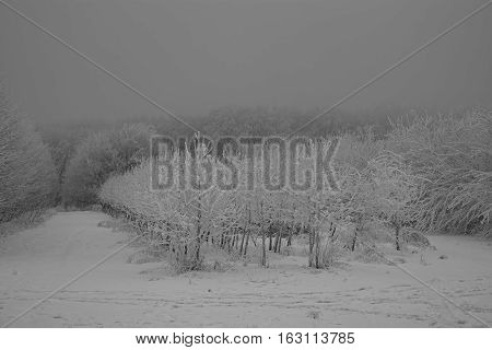 Winter forest. Winter landscape on a cloudy day
