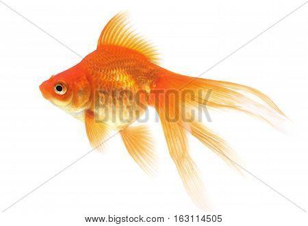 Goldfish, fish isolated on a white background