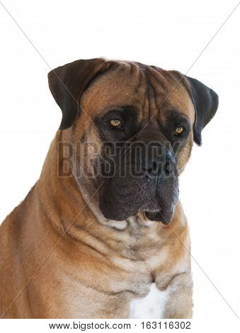 Closeup portrait of dog breed South African Boerboel (South African Mastiff) on a white background, isolated