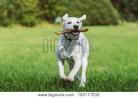 young cute labrador retriever dog puppy runs on a meadow with a stick in his mouth