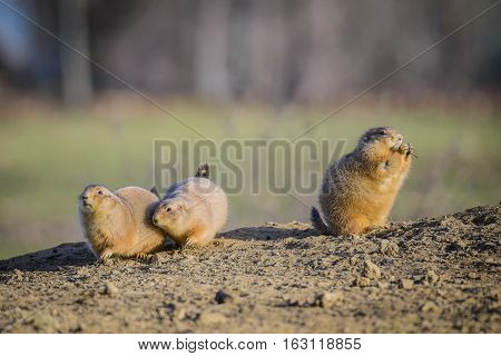 Group of Black-tailed prairie dog (Cynomys ludovicianus ) .
