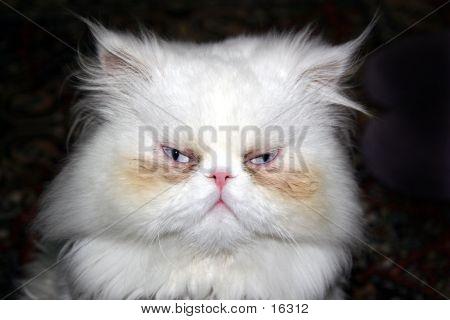 poster of persian cat