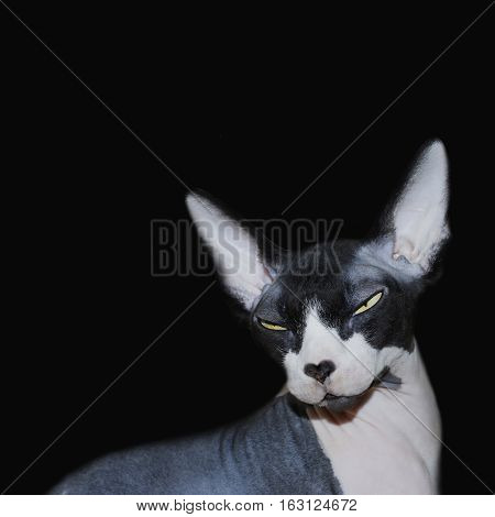 Hairless Sphynx cat isolated on a black background
