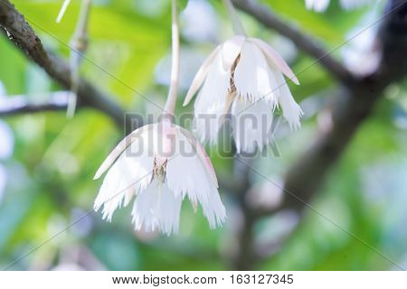 White flowers (Elaeocarpus grandiflorus Sm.) for background