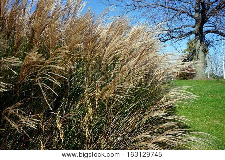 Chinese silver grass (Miscanthus sinensis) stands tall in Joliet, Illinois during November.