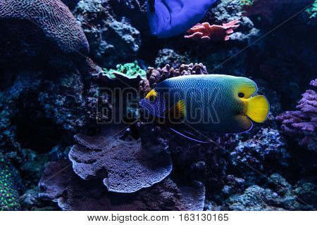 Blue faced angelfish Pomacanthus xanthometopon in a coral reef.