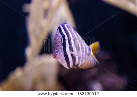 Desjardini Sailfin tang Zebrasoma desjardini in a coral reef.
