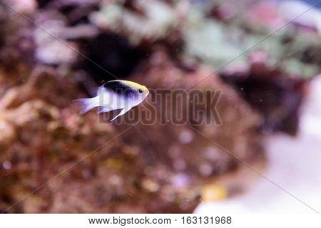 Fiji Yellow Head damsel Chrysiptera rollandi on a coral reef.