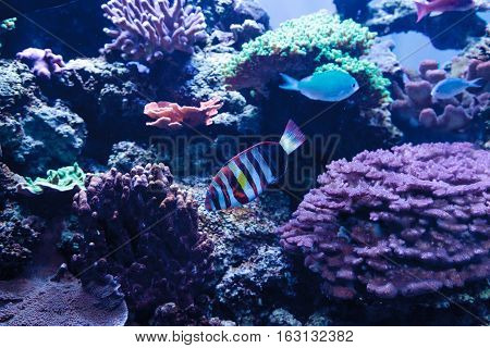 Harlequin tuskfish known as Choerodon fasciatus in a coral reef.