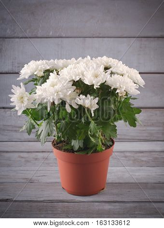 White Chrysanthemum in flower pot on grey wooden backround, vertical