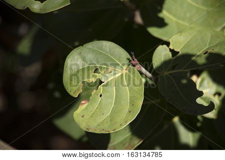 Image of leaf eaten by insects in Fort Lauderdale Florida