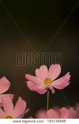 Pink Cosmos flower bed in the garden