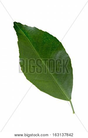 Green orange leaf isolated on white with clipping path