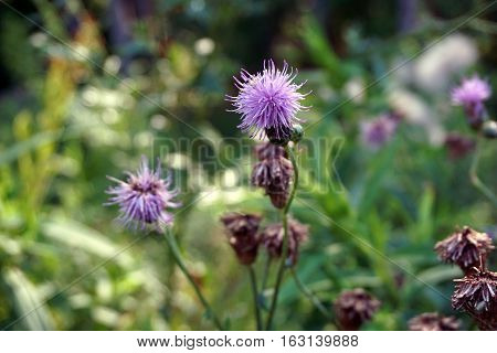 The flower of a creeping thistle plant (Cirsium arvense), also called the Canada thistle, blooms in a yard in Harbor Springs, Michigan during August.