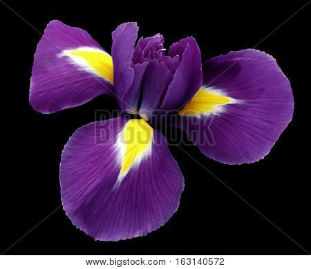 iris violet flower. black isolated background with clipping path. Closeup no shadows. Nature.