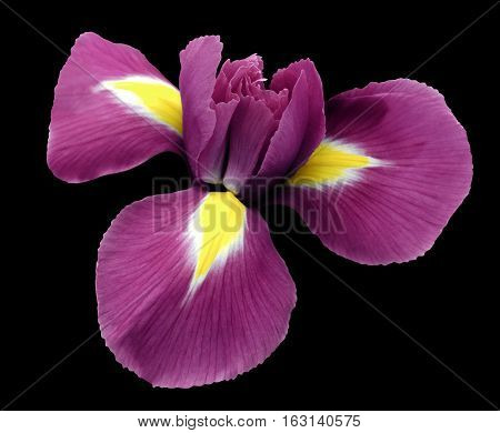iris pink flower. black isolated background with clipping path. Closeup no shadows. Nature.
