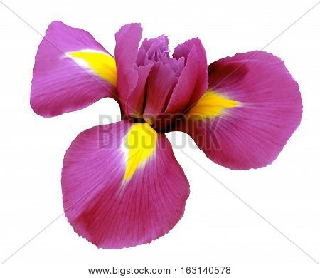 iris pink flower. white isolated background with clipping path. Closeup no shadows. Nature.