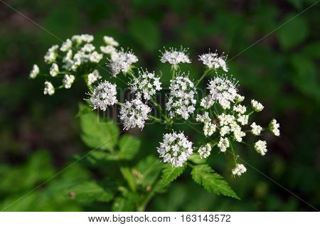 Field plant with inflorescence of small flowers with white petals and green leaves