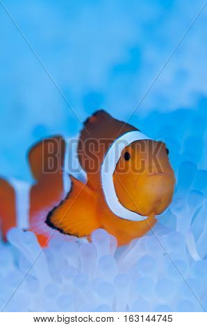 A clownfish live in bleached sea anemone.