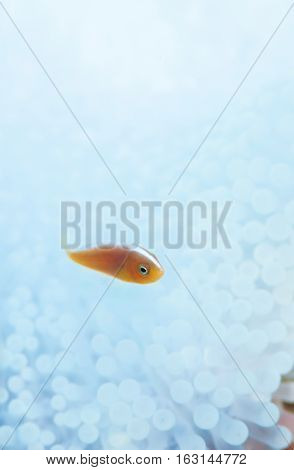 Whitewashed sea anemone and small anemone fish
