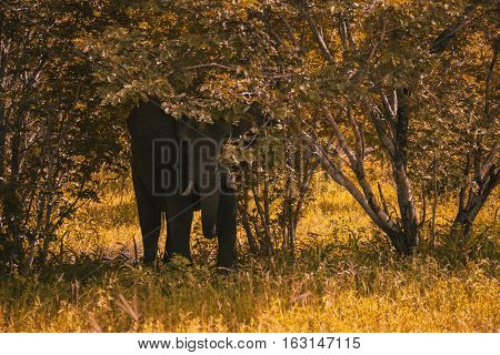 Оne Big Elephant Walks And Grazes In The South African Bushes.