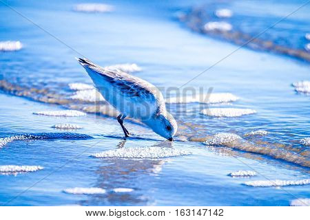 Spoon-billed Sandpiper and shorebirds at the south carolina beachVery rare and critically endangered species of the worldwalking and foraging in water with morning light