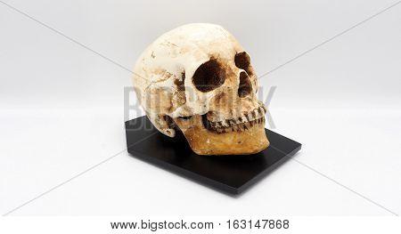 Real Human Skull Head .