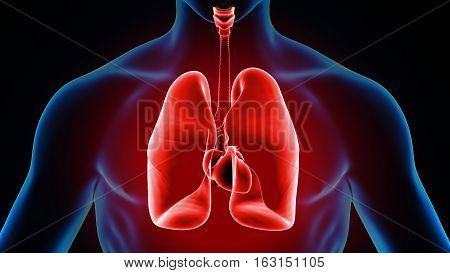 3d illustration human body lungs.human body organs.