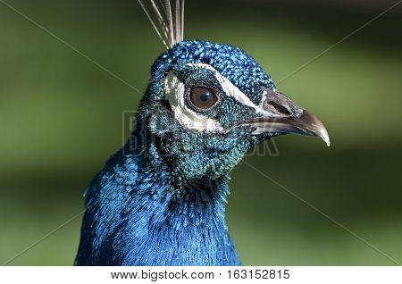 Portrait of a male of Peacock. Photo taken in Cecilio Rodriguez Gardens Retiro Park Madrid Spain