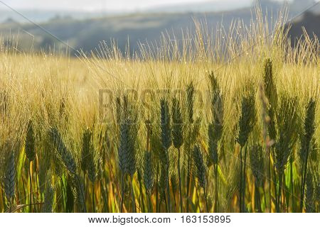 Springtime. Ears of cereal  wrapped in dew.Italy,Apulia. Unripe wheat in the early morning with dew drops.