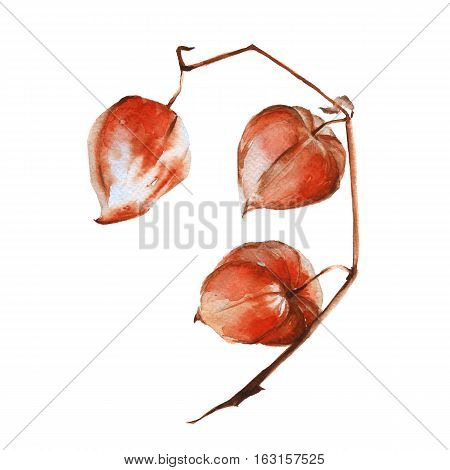 Branch with fruits of physalis. Isolated on a white background. Watercolor illustration.