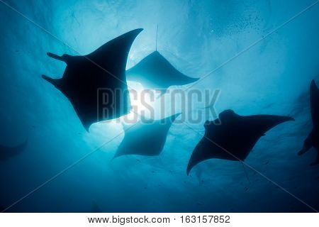 Silhouette of manta ray in Hanifaru bay