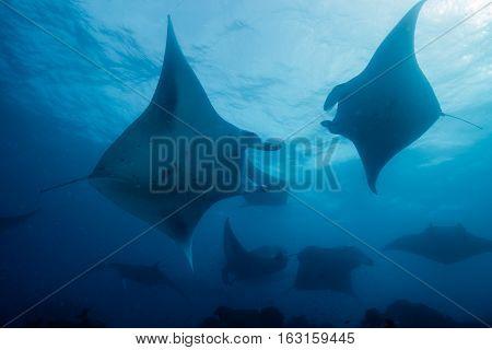 Silhouette of manta ray in Baa Atoll ,Maldives