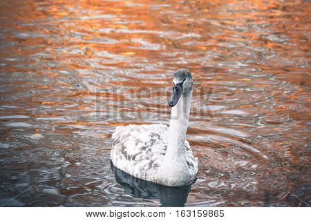 Beautiful Swan Cygnet With White Feathers
