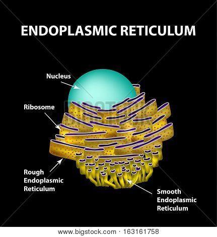 Endoplasmic reticulum structure. Infographics Vector - illustration.