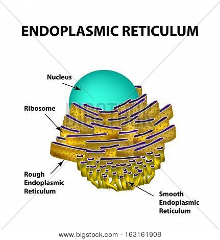 Endoplasmic reticulum structure. Infographics. Vector illustration on isolated background.