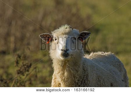 Sheep looking at camera on Pevensey Levels Sussex.