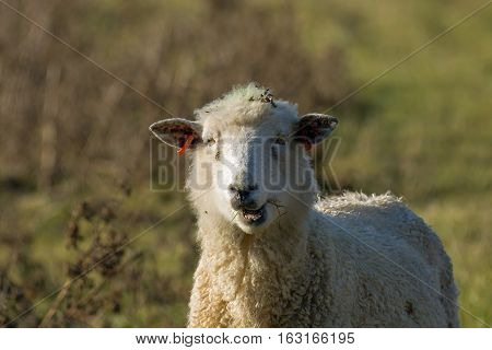 Females sheep or ewe chewing in sunlight