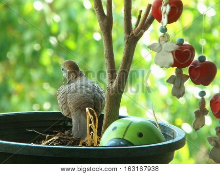 One wild Zebra Dove resting on the planter in a peaceful afternoon